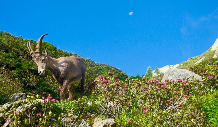 Bouquetin observé lors d'une randonnée dans les Alpes