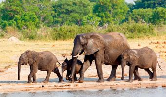 Éléphants en Afrique du Sud