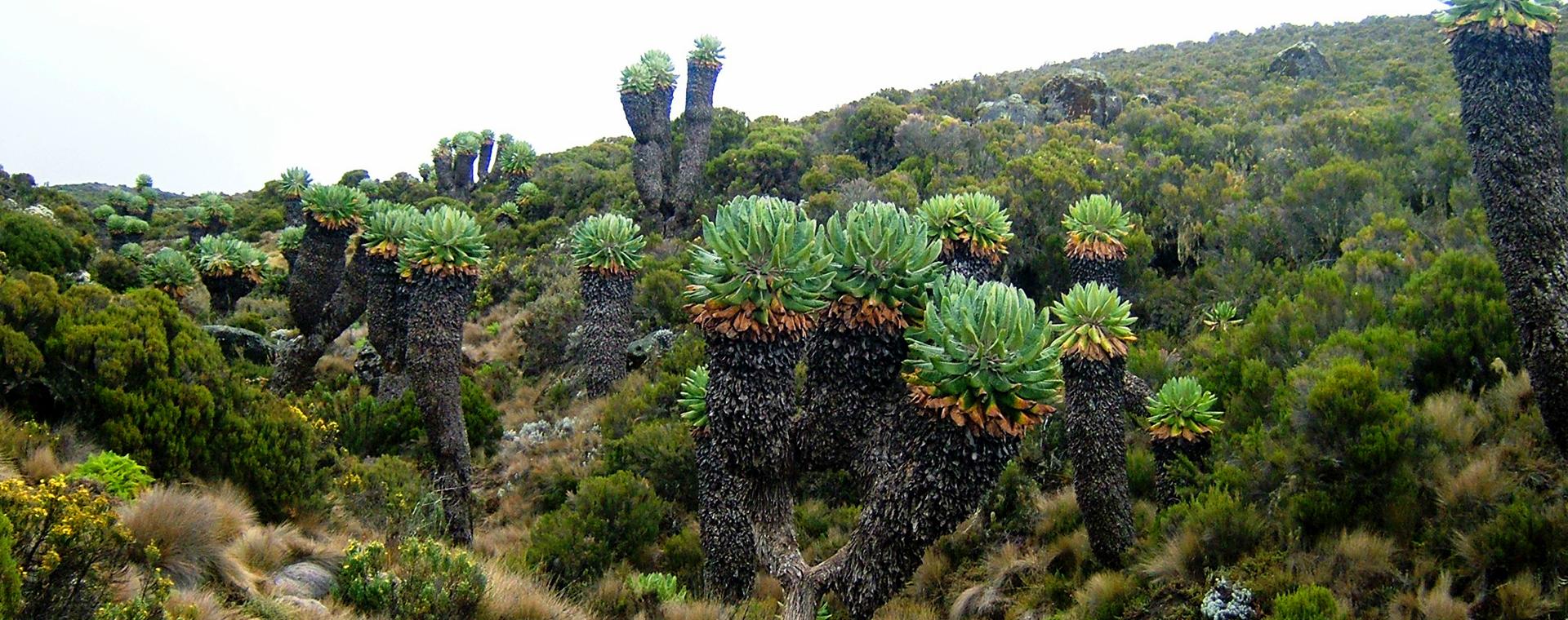 Image L'Ascension du Kilimandjaro par la voie Machame