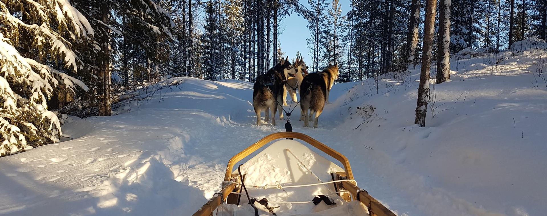 Image Chiens de traîneaux et conduite d'attelage en Laponie suédoise